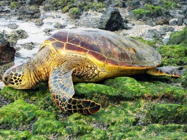 Зелёная морская черепаха википедия