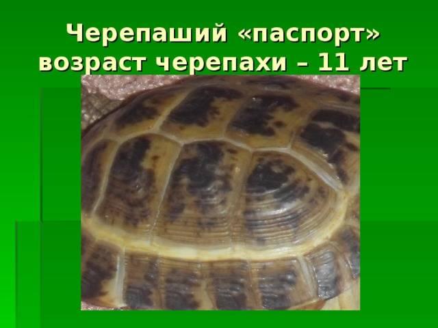 Особенности определения возраста у сухопутной черепахи