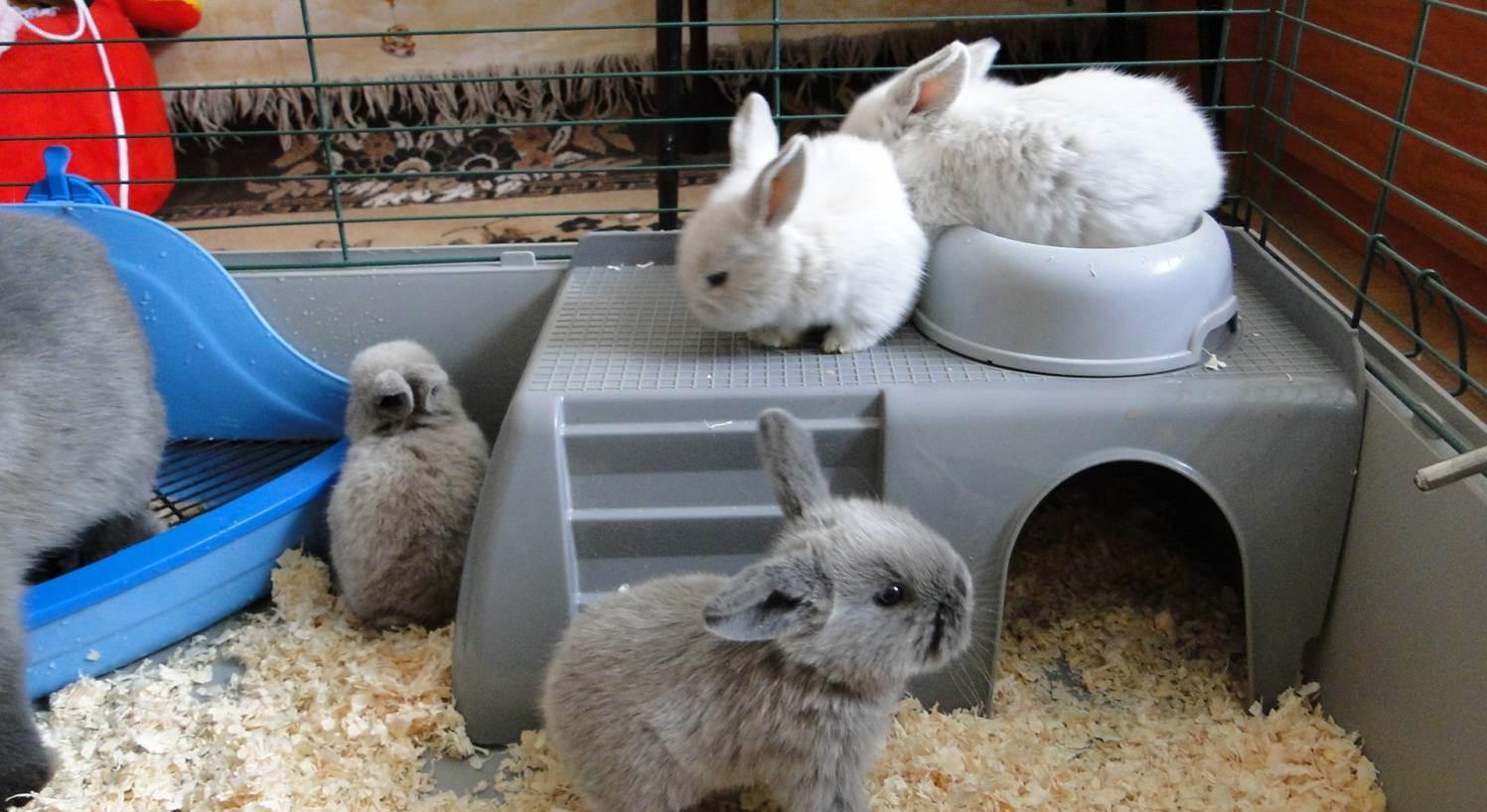Нужно ли кастрировать декоративного кролика и сколько это стоит