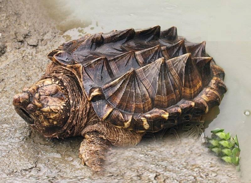 Как происходит спаривание красноухих черепах