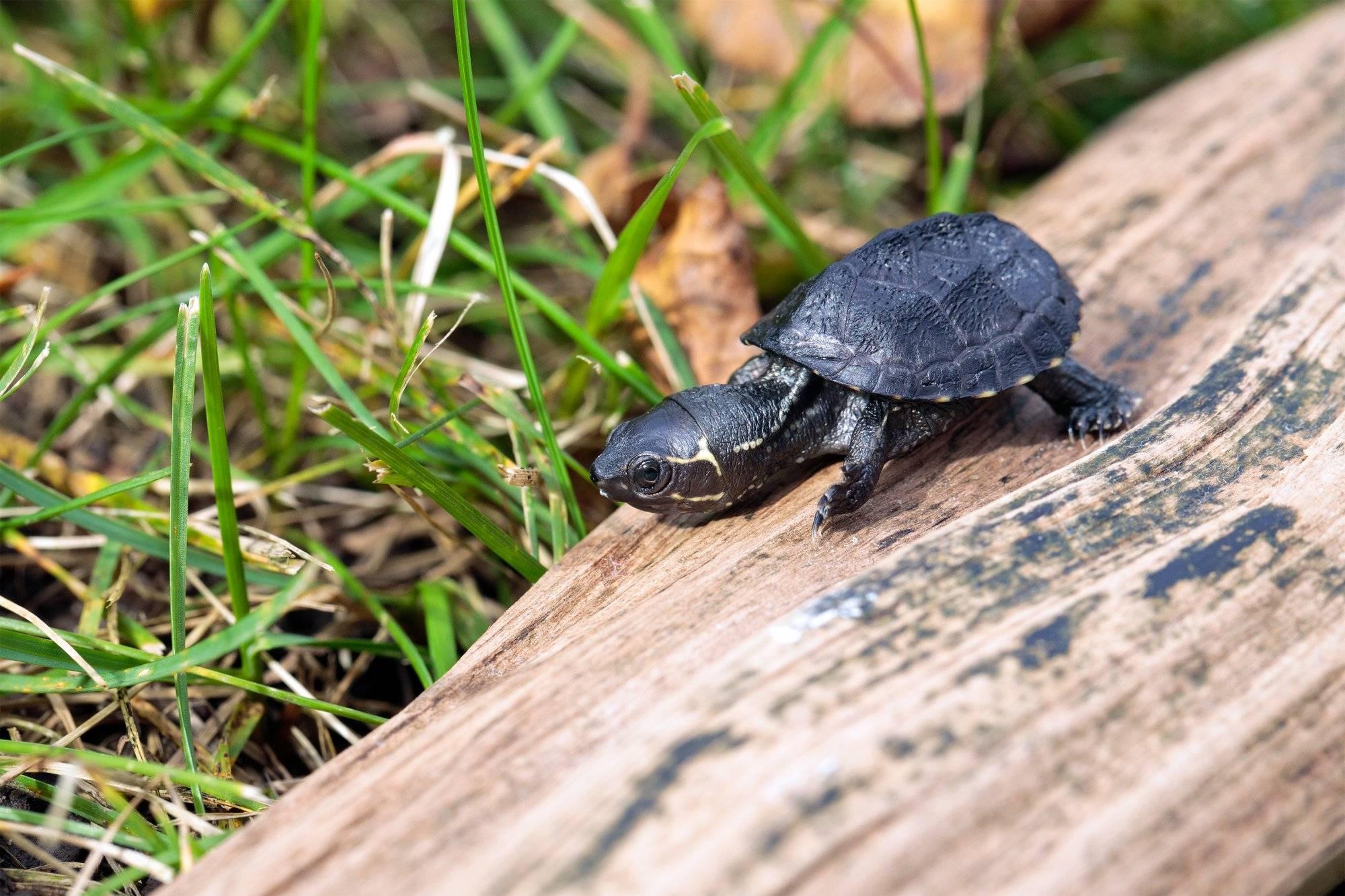 Малая мускусная черепаха
