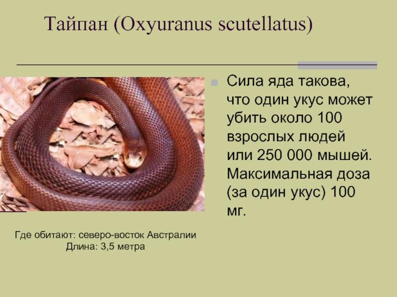 Змея тайпан