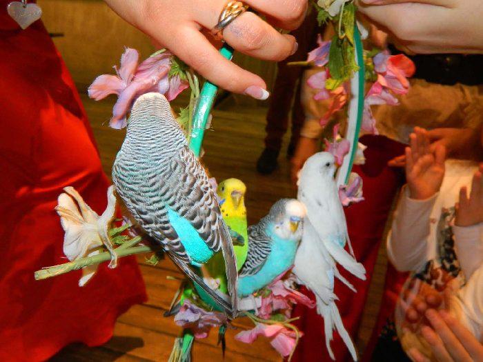 Дрессировка волнистых попугаев