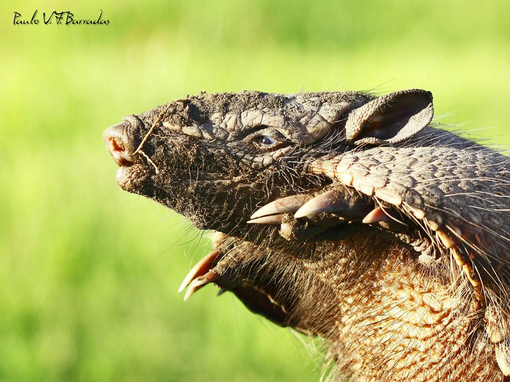 Броненосец – что это за животное?