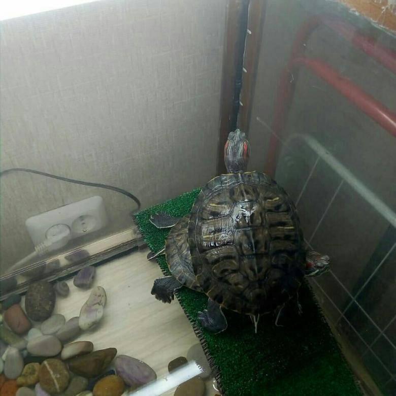 Как, где и сколько спят водные красноухие черепахи