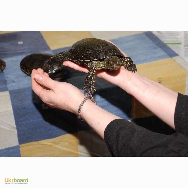 Европейская болотная черепаха в домашних условиях