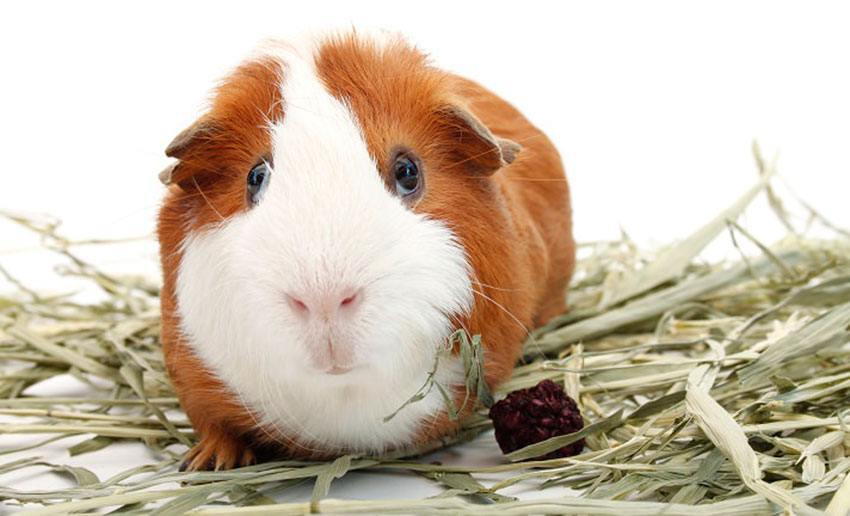 Хурма: можно ли давать морским свинкам?