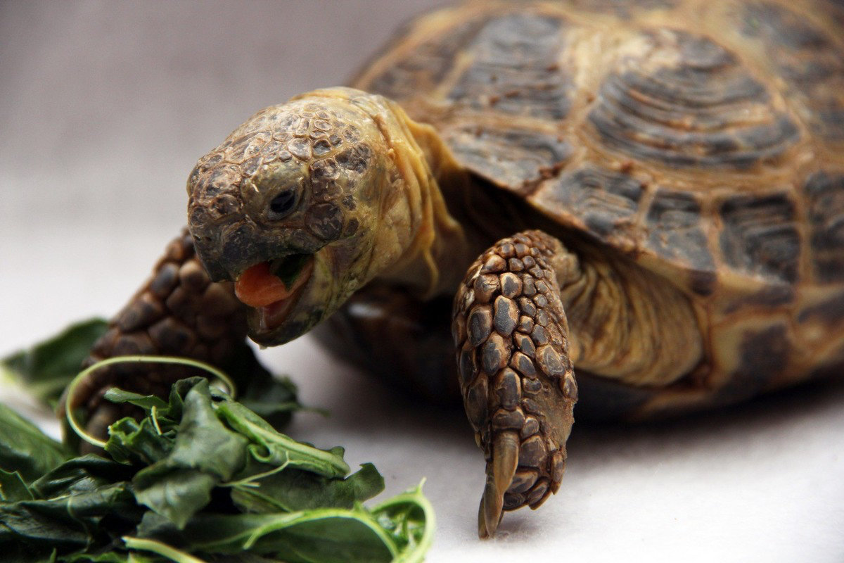Виды сухопутных черепах