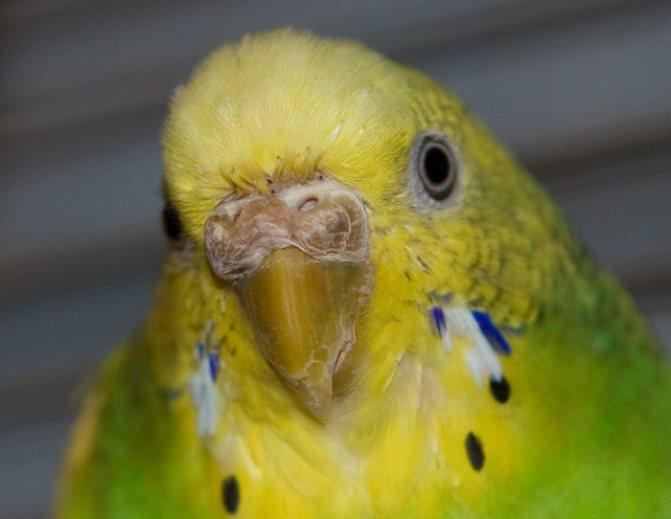 Восковица у волнистого попугая: какие болезни можно определить
