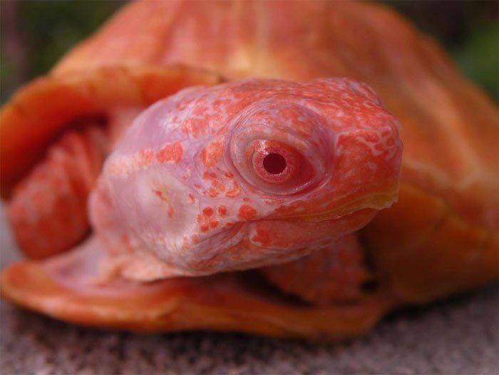 Альбинизм - albinism - qwe.wiki