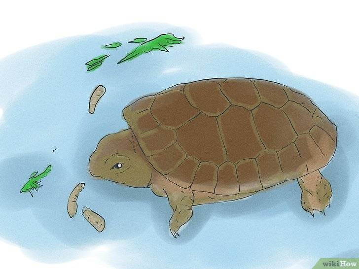 Болотная черепаха в домашних условиях