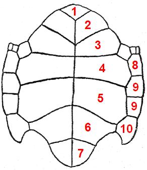 Карапакс черепах — википедия. что такое карапакс черепах