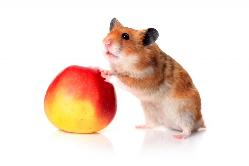 В каких случаях хомякам можно давать яблоки