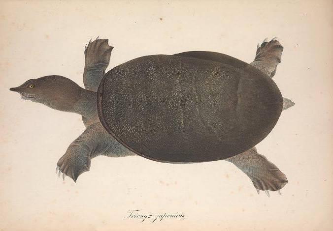 Дальневосточная черепаха ²