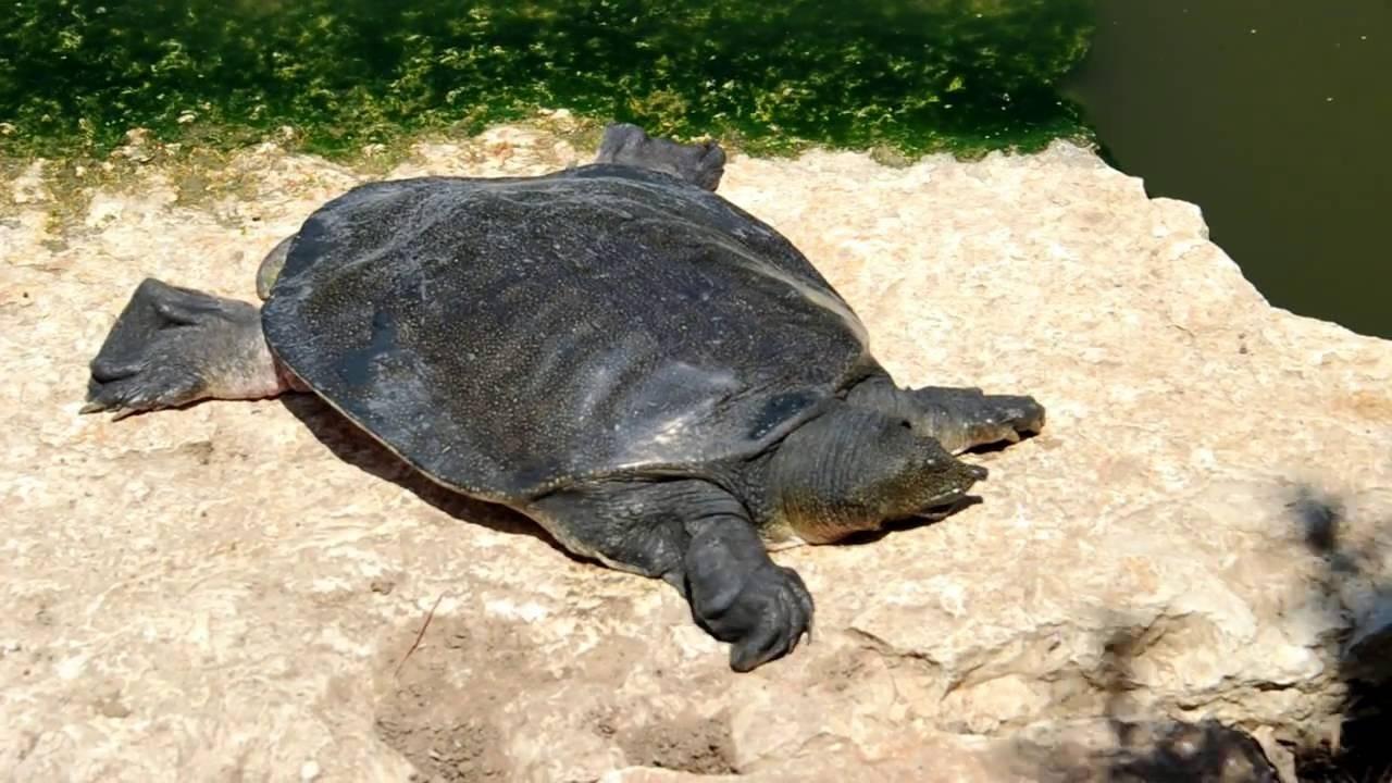 Мягкотелые черепахи