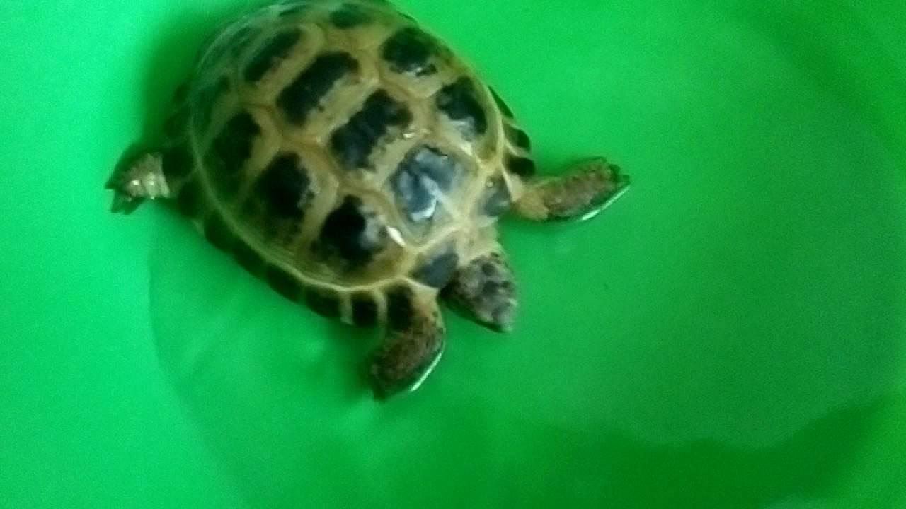 Как купать среднеазиатскую черепаху
