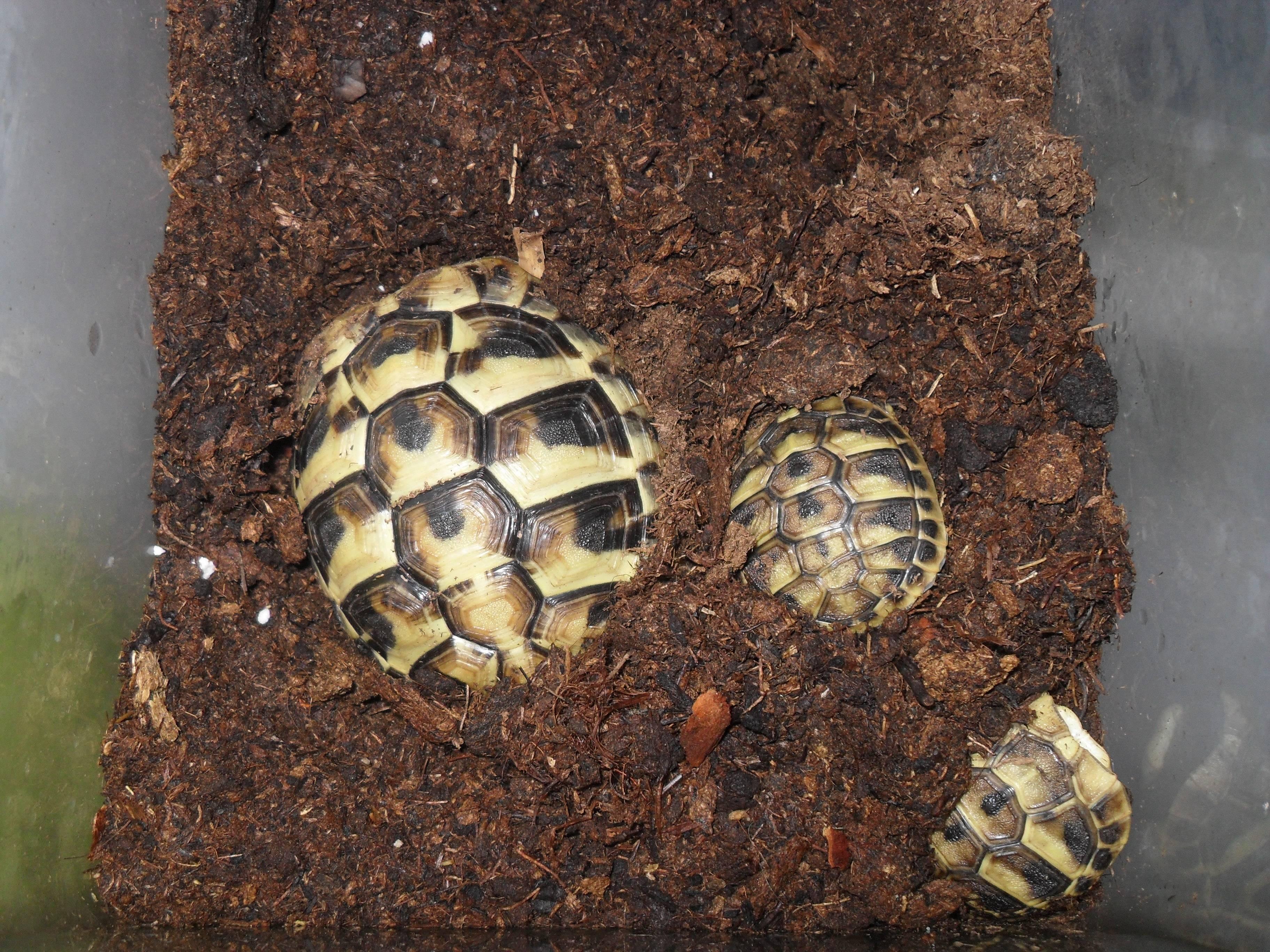 Содержание сухопутных черепах в домашних условиях.