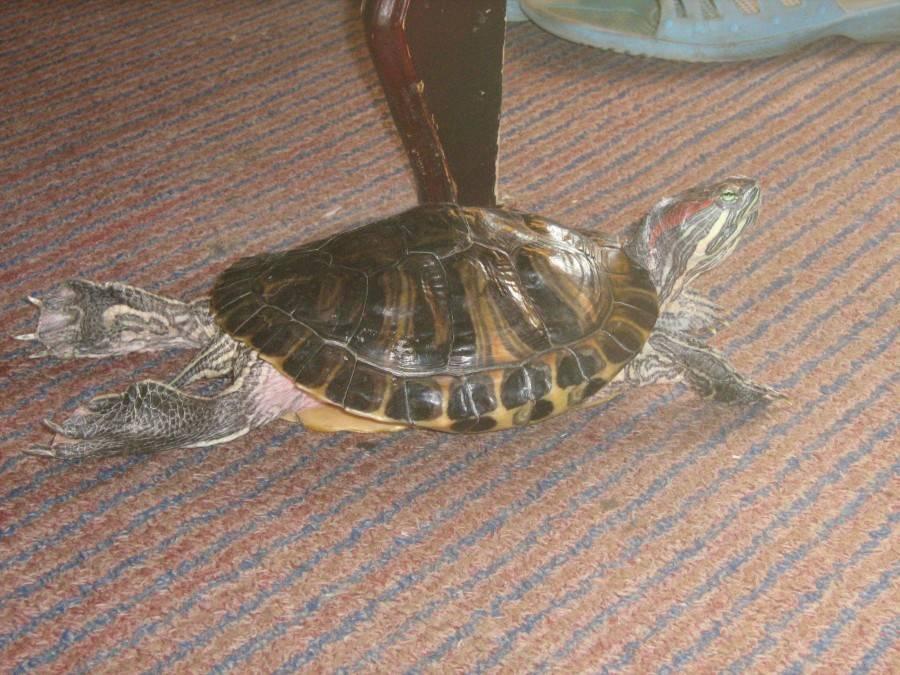 Мягкий панцирь у сухопутной черепахи, что делать?