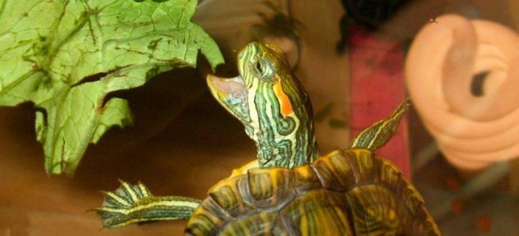 Приметы о черепахах: что приносят в дом хозяйки золотых ключиков?