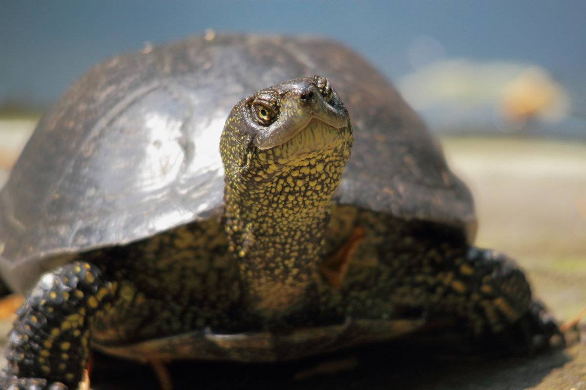 Болотная черепаха: содержание и уход в домашних условиях, рацион и размножение речной рептилии