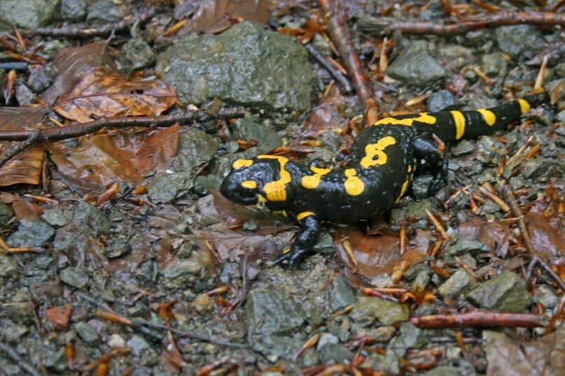 Домашняя саламандра