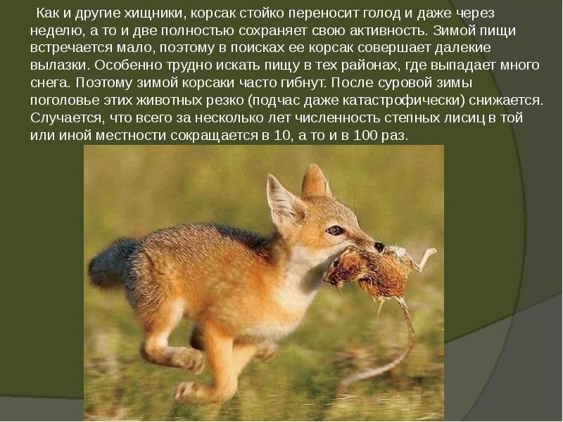 Корсак: ареал, описание, фото, образ жизни и повадки степной лисицы