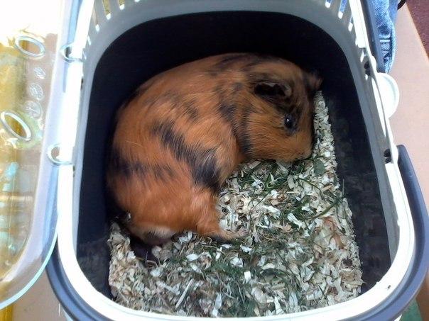 Как выбрать лоток морской свинке и приучить к нему
