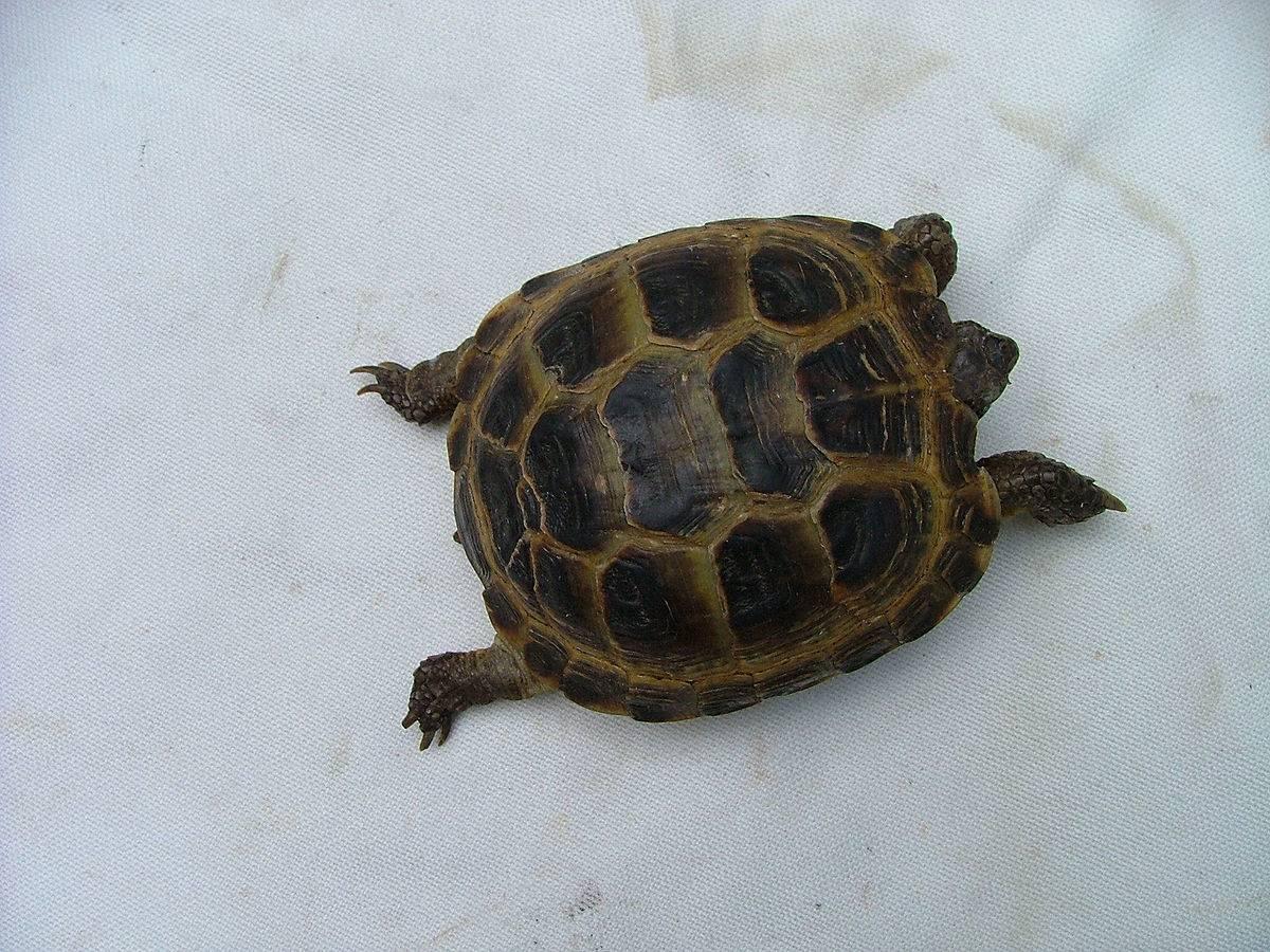 Средиземноморская черепаха уход. черепаха средиземноморская (testudo graeca). описание греческой черепахи