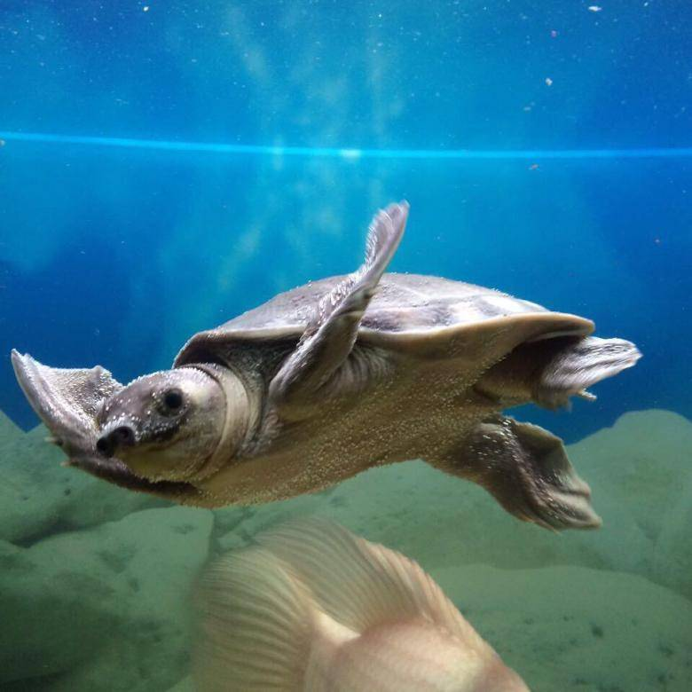 Двухкоготная свинорылая водная черепаха: содержание и уход.фото.