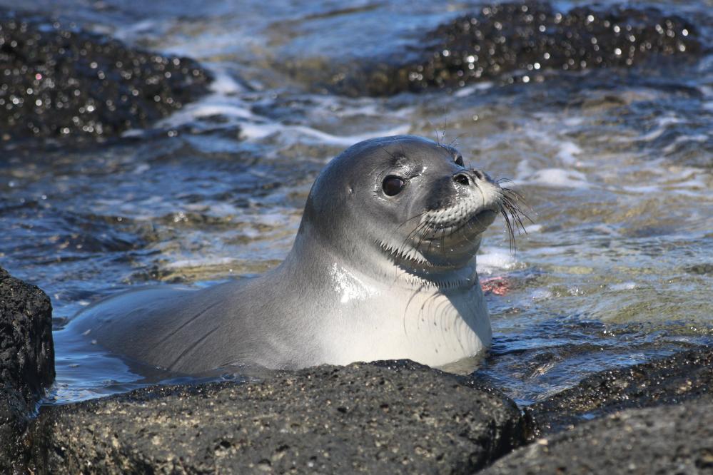 Средиземноморский тюлень-монах (белобрюхий тюлень)
