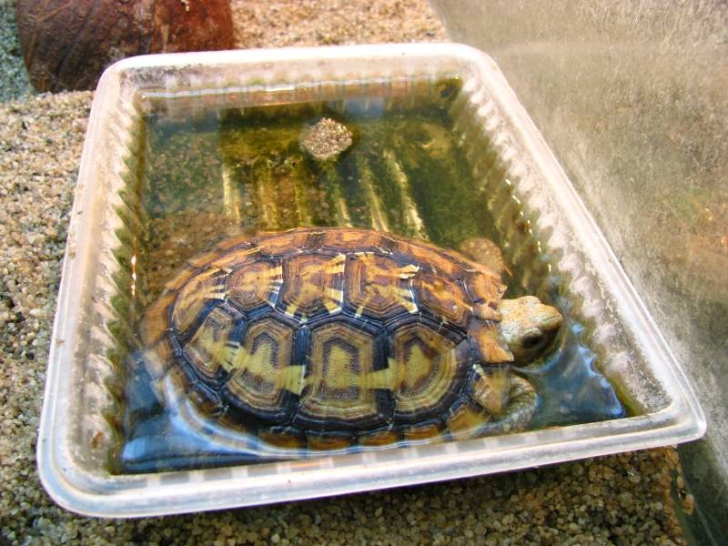 Содержание сухопутной черепахи в домашних условиях