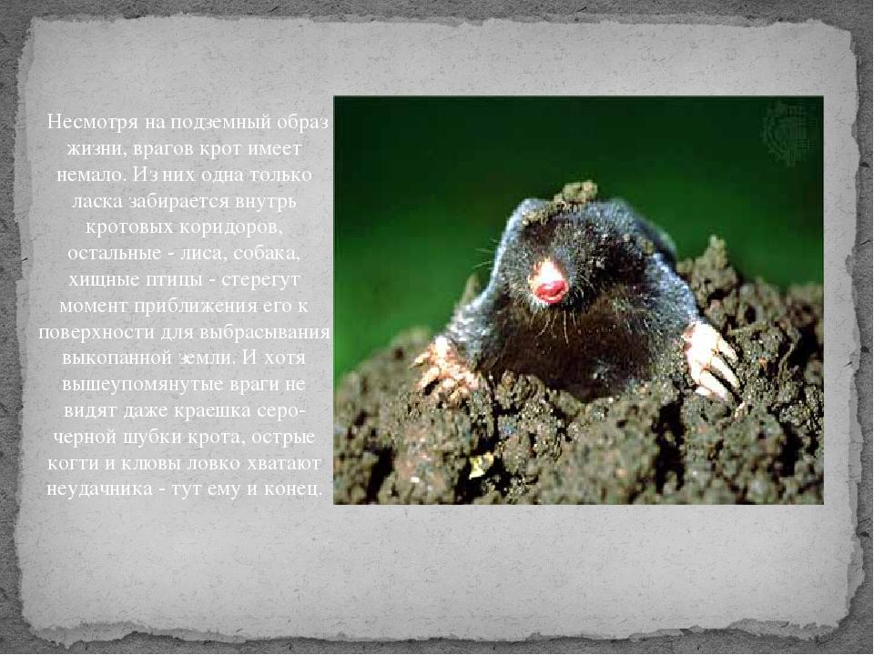 Крот: описание, виды, образ жизни
