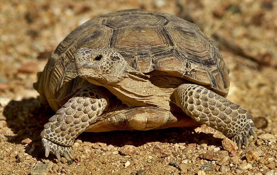 Как определить пол сухопутной черепахи