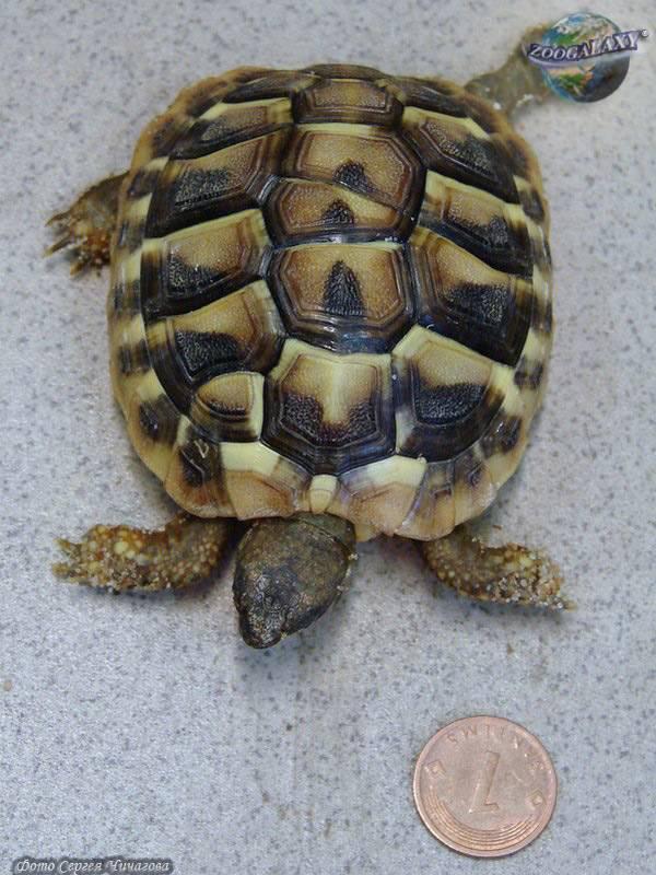 Балканская черепаха — википедия