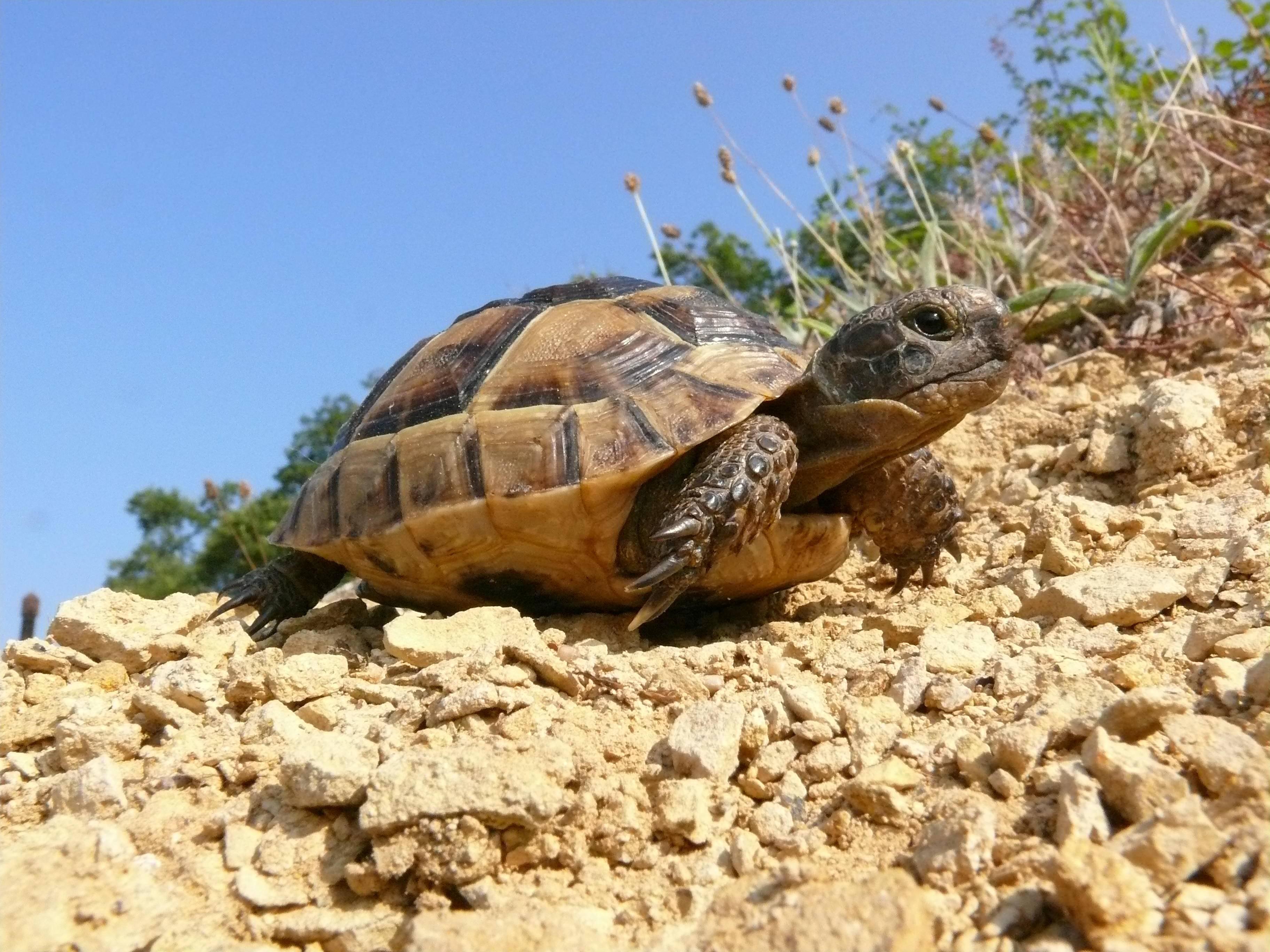 Как кормить средиземноморских черепах