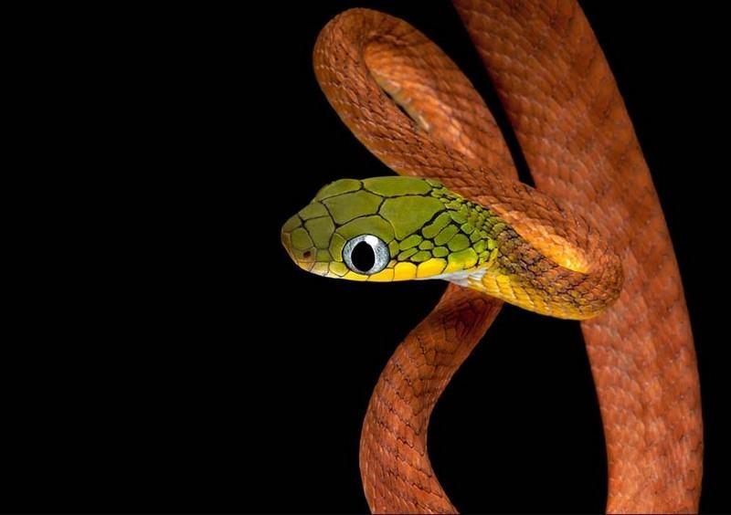 Змея зеленая бойга, ареал обитания, внешний вид, описание