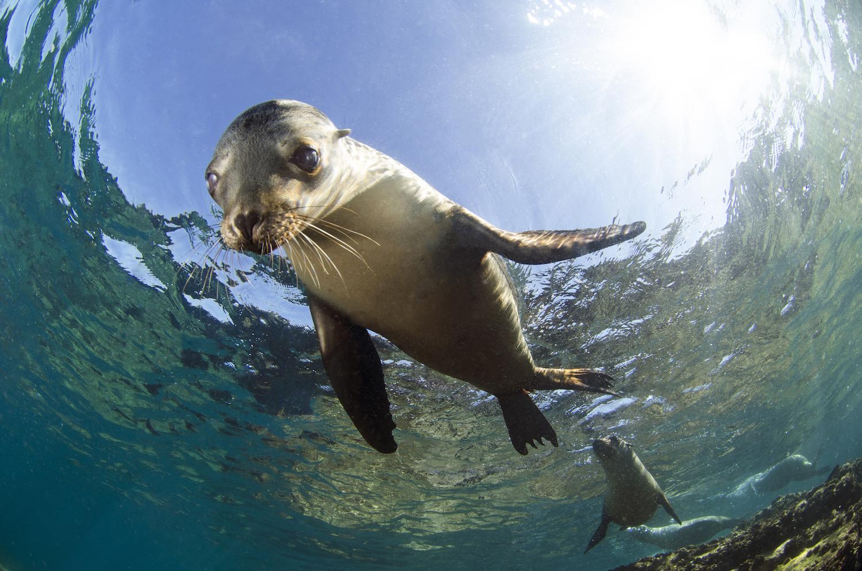 Южноамериканский морской котик