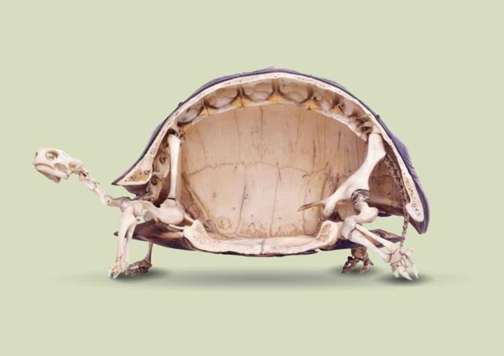 В чем заключаются особенности строения скелета черепахи: разбираемся развернуто
