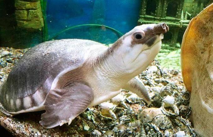 Свинья носом черепаха - pig-nosed turtle - qwe.wiki