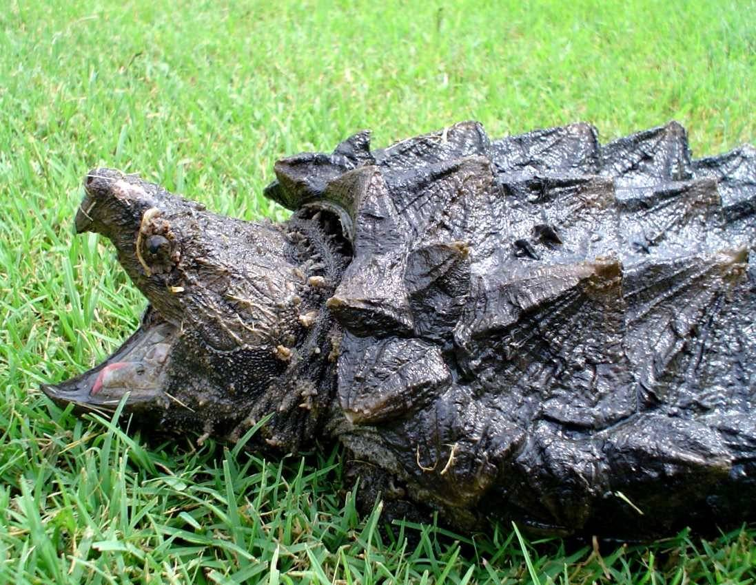 Грифовая черепаха - alligator snapping turtle - qwe.wiki