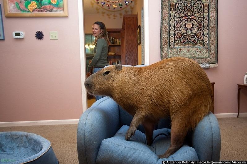 Капибара домашняя — самый крупный грызун в мире