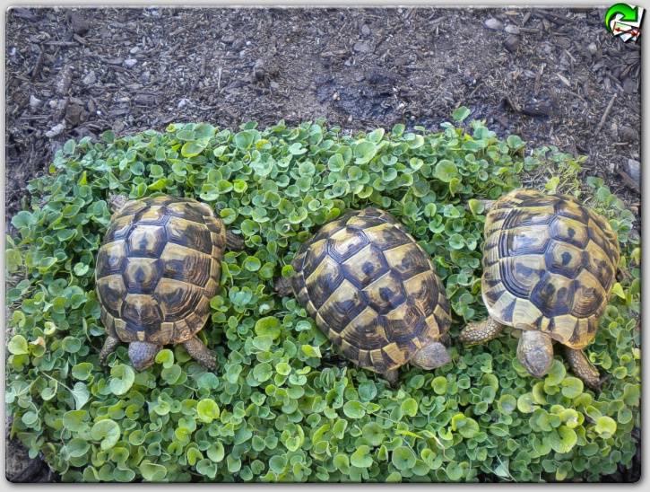 Средиземноморская черепаха в домашних условиях: краткое описание, особенности содержания и интересные факты
