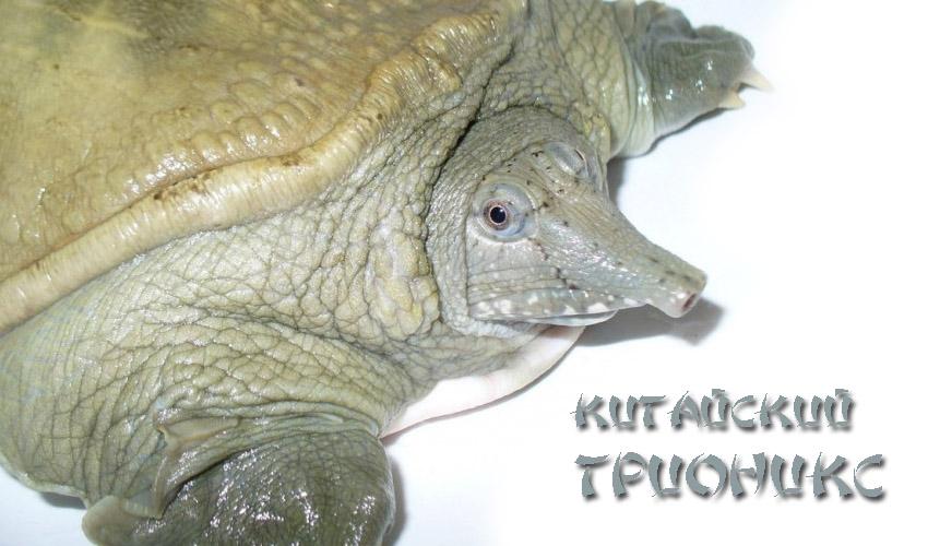 Китайский трионикс. дальневосточная черепаха: содержание