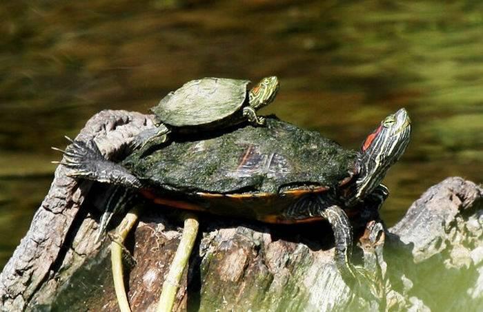 Где живут черепахи?