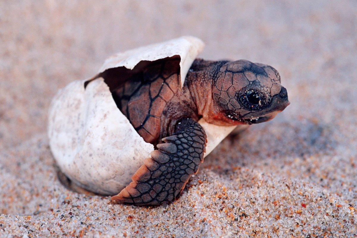 Каспийская черепаха – бронированный питомец