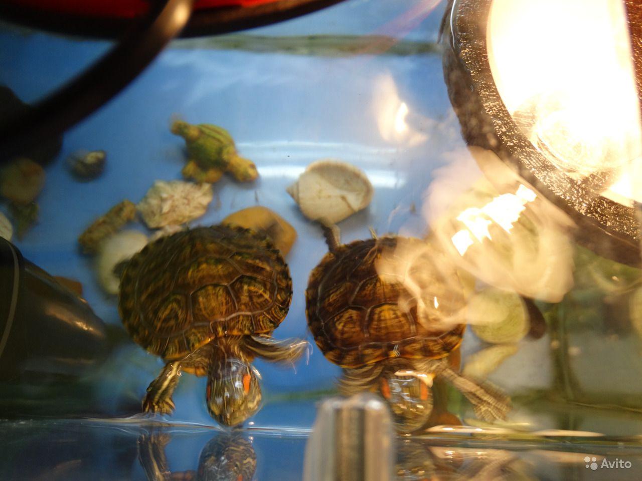Что необходимо знать, прежде чем приобрести красноухую черепаху