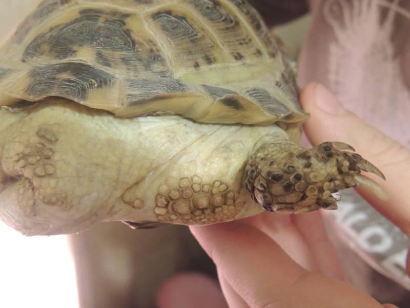 У черепахи нет глаз. что делать, если красноухая черепаха не открывает глаза? возможные причины, лечение