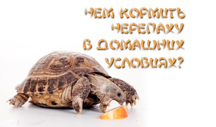 Всё, что нужно знать о уходе за черепахой в домашних условиях