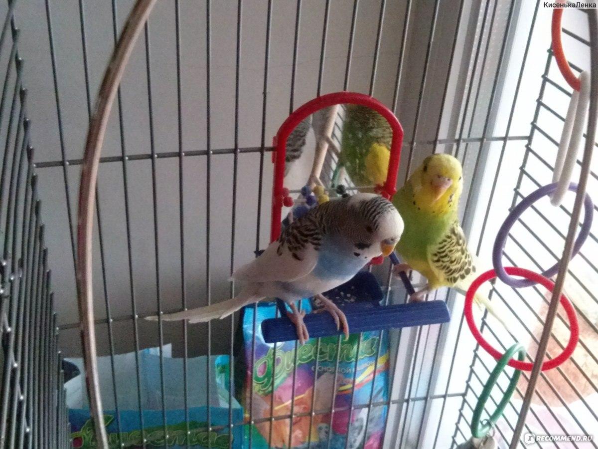 Как отучить кусаться волнистого попугая