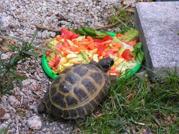 Чем кормить сухопутную черепаху